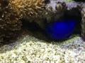 コバルトスズメのシッポ攻撃